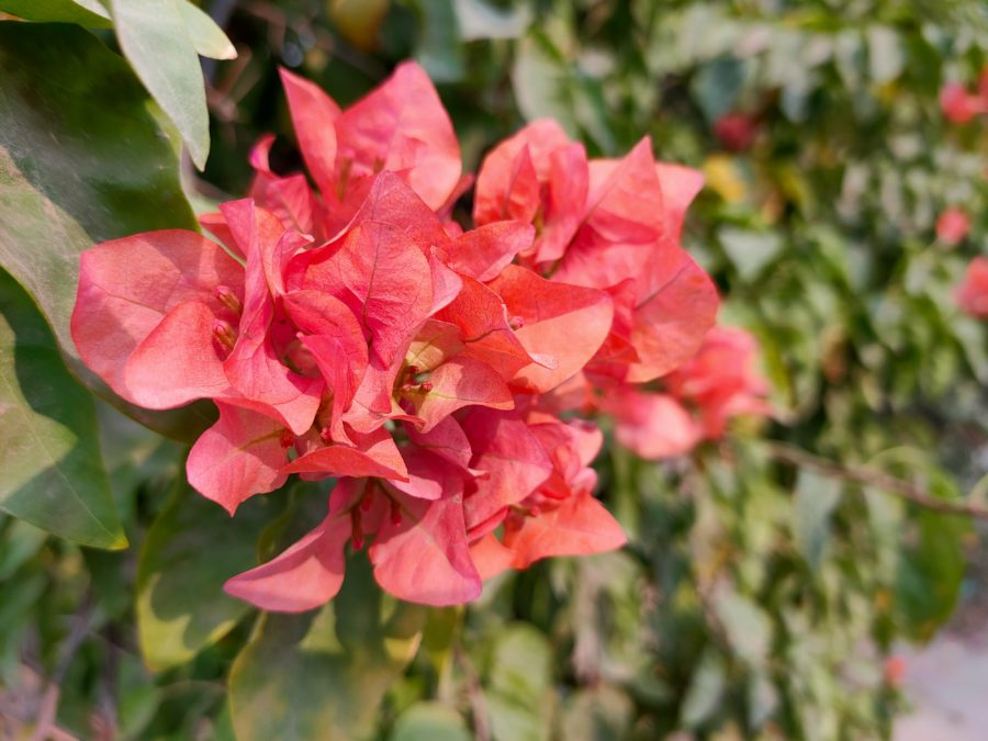 Oppo Reno 2 macro flower shot